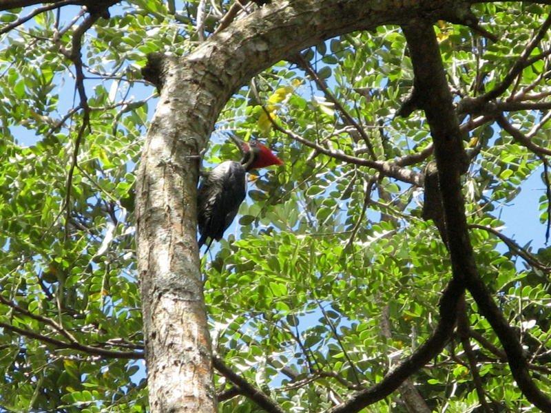 Oiseau De ma Kia Lorette La Gran Sabana Venezuela Carpin12