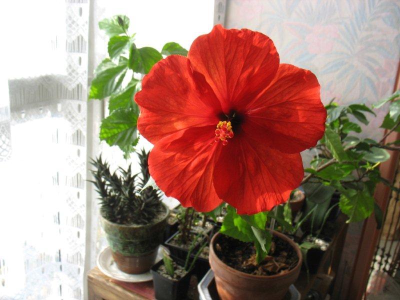 Mon Hibiscus en fleur Hibisc10