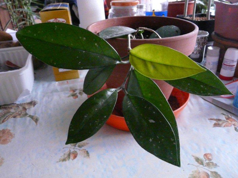 Fleur de porcelaine - Hoya bella Hoya_c10