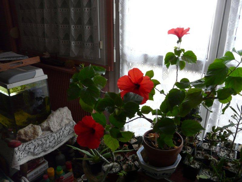 Mon Hibiscus en fleur Ibiscu10