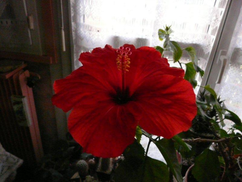 Mon Hibiscus en fleur Ibiscu11