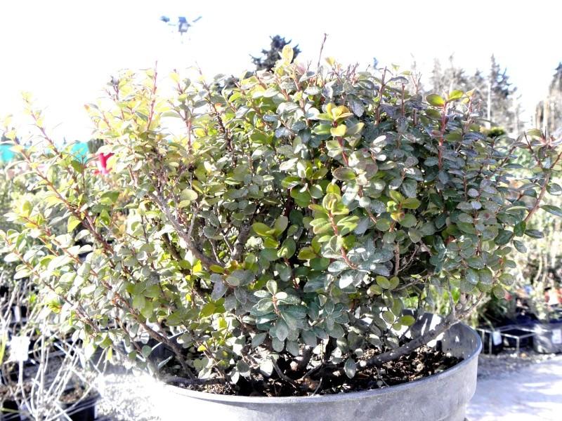 myrsine africana P3050010