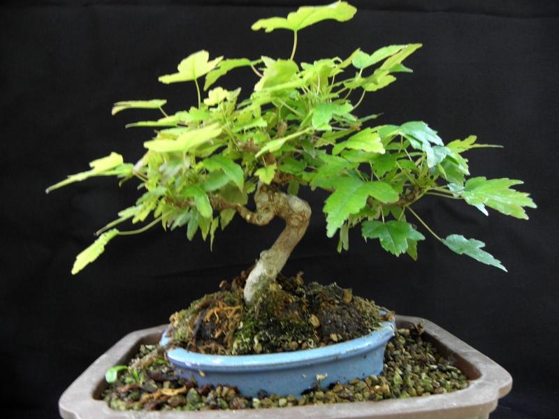 liste des arbres qui aiment la brumisation ...ou pas P5270011