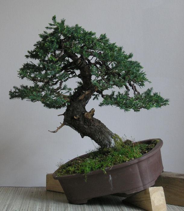 San jose juniper Burrs110