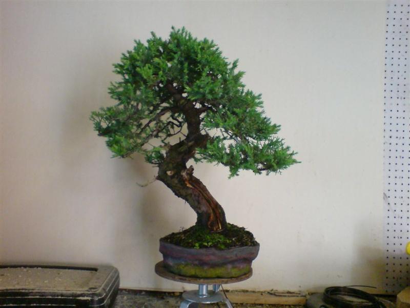 San jose juniper Dsc00110