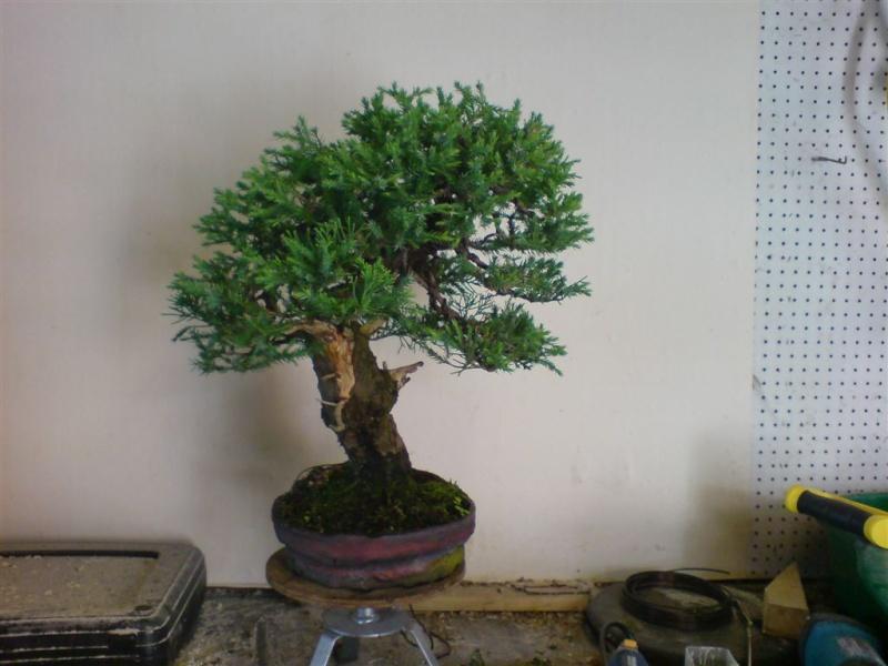 San jose juniper Dsc00111