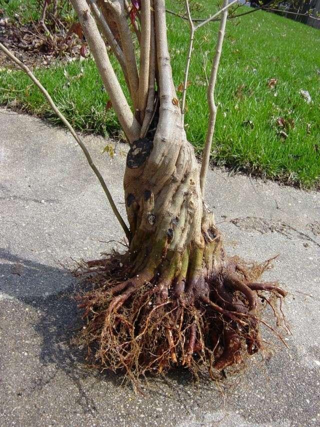 Fused-trunk Trident, Acer buergerianum Dsc02915