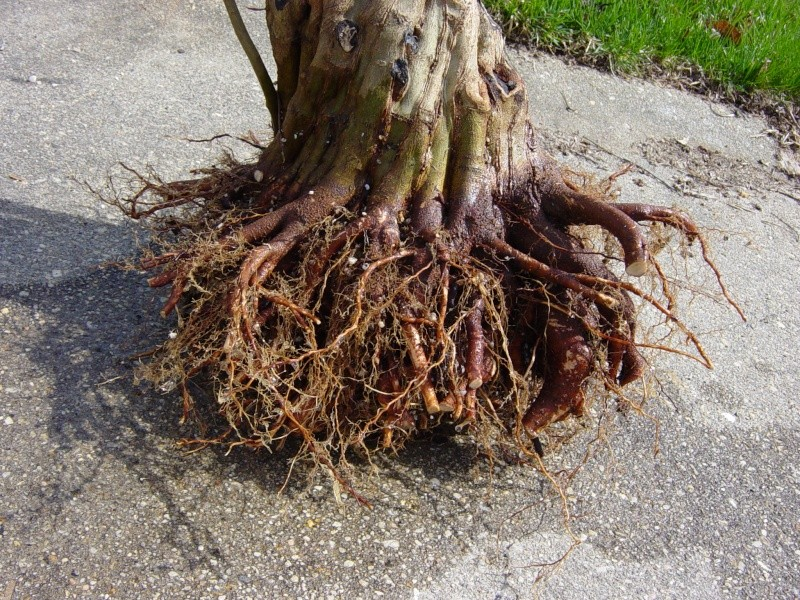Fused-trunk Trident, Acer buergerianum Dsc02916