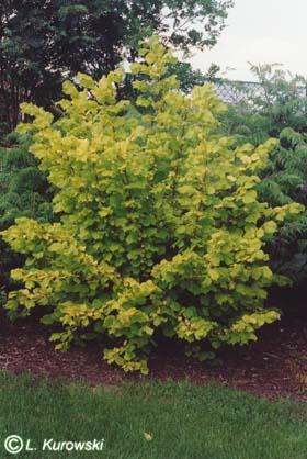 شجرة بندق متوسطية أزهار البندق المذكرة Corylu10