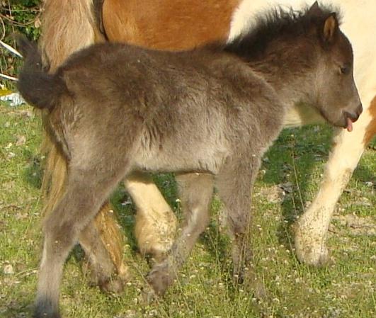 chevaux irish cob + poneys shetland Alybi10