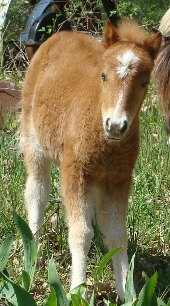 chevaux irish cob + poneys shetland Anaeli10