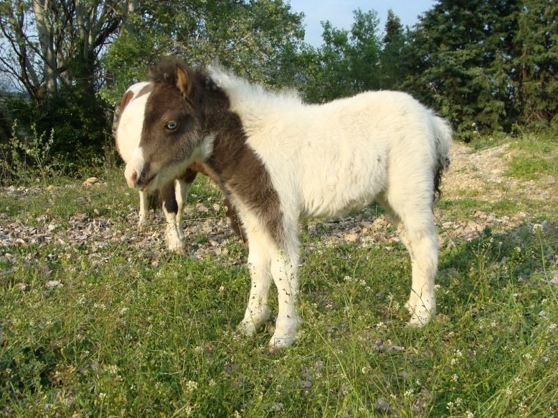 chevaux irish cob + poneys shetland Dsc05310