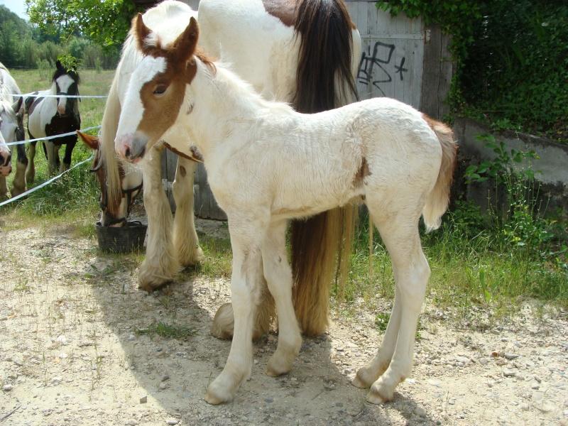 chevaux irish cob + poneys shetland Dsc05710