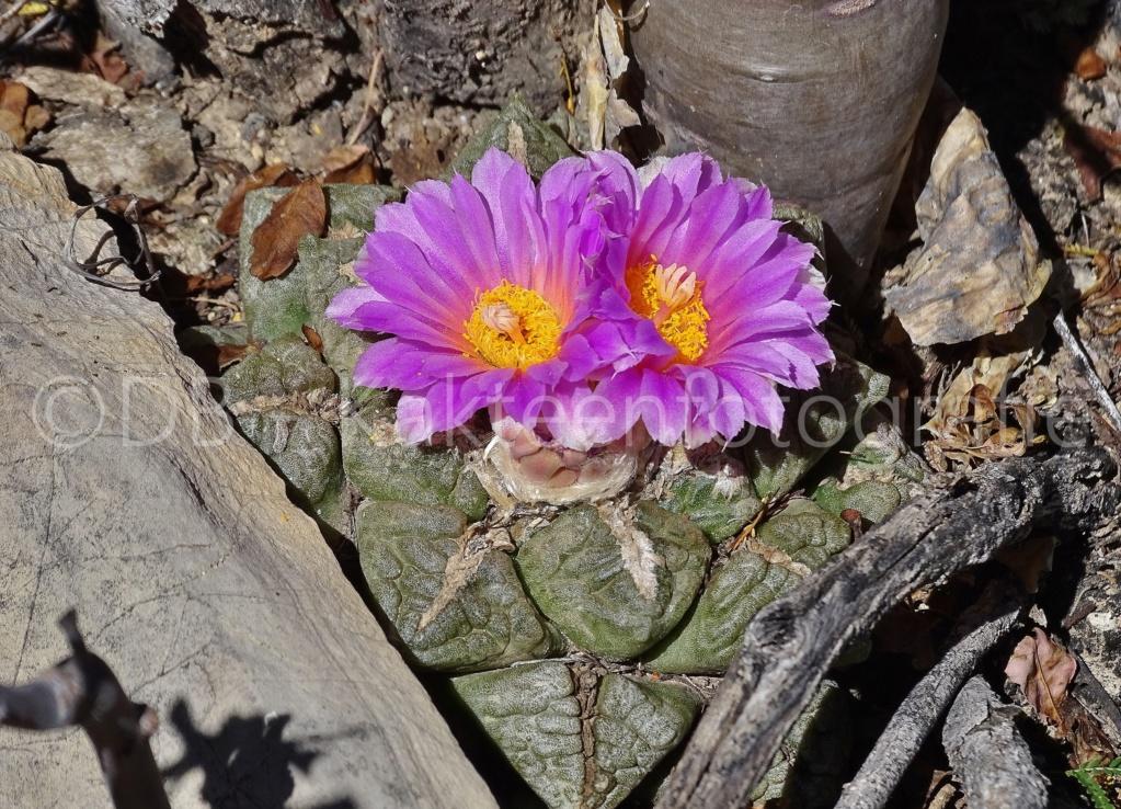 Ariocarpus intermedius Dsc02713