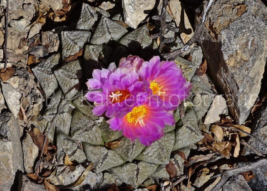 Ariocarpus intermedius Dsc02714