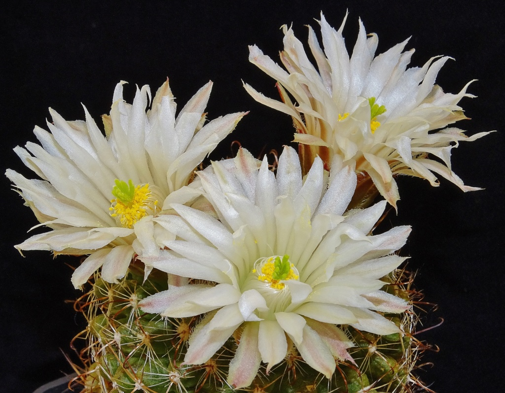 Mammillaria wrightii var. wolfii Dsc04519