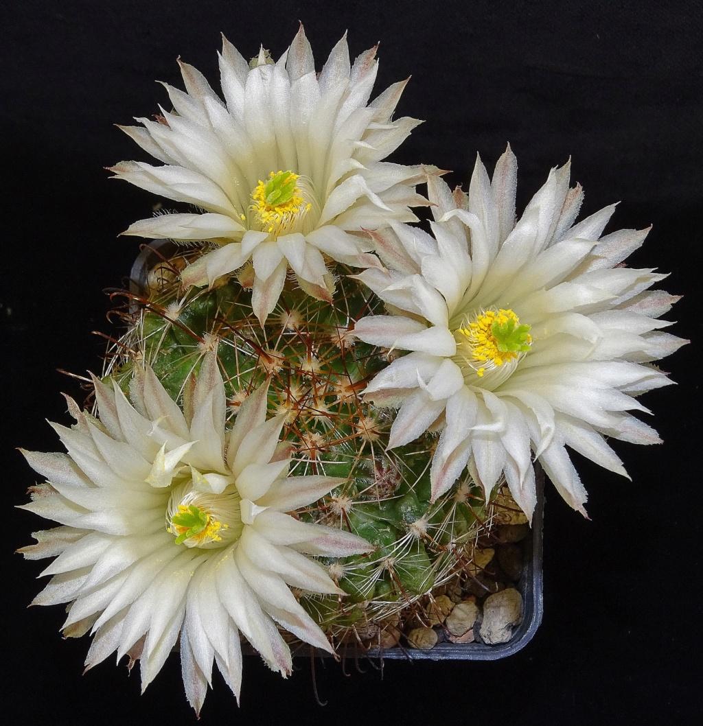Mammillaria wrightii var. wolfii Dsc04522