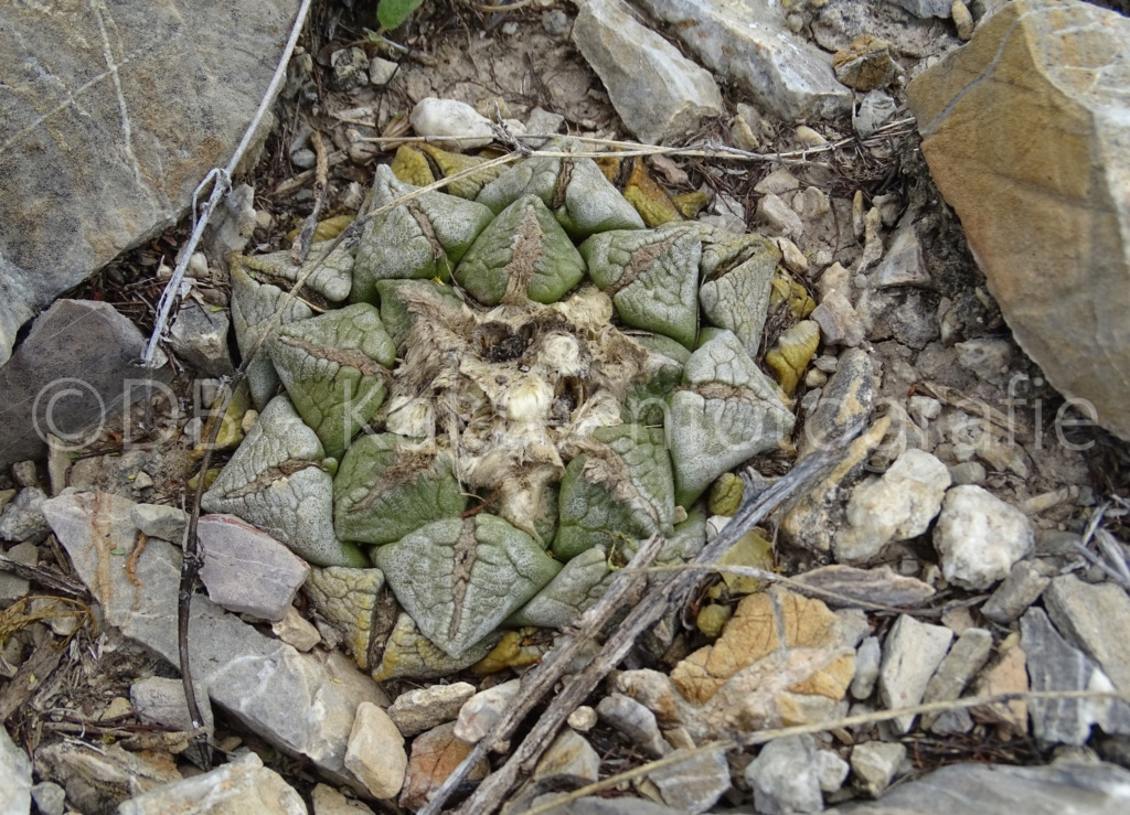 Ariocarpus intermedius Dsc08913