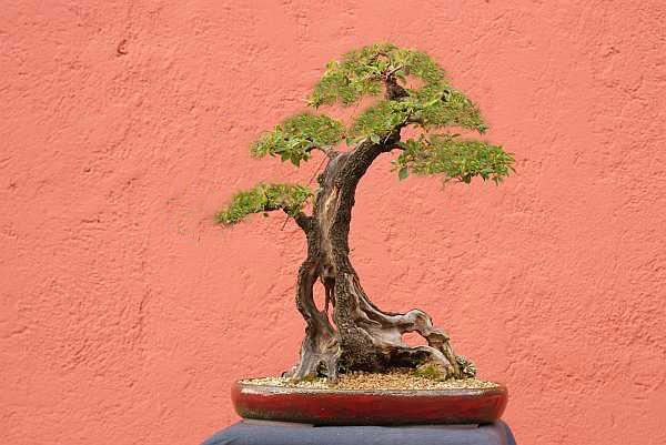 Prunus mahaleb 2005 - 2010 Herber11