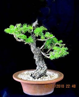Colorado Blue Spruce Pat_s_10