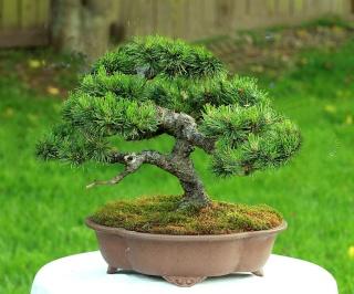Mugo Pine Needs A New Look Victri10
