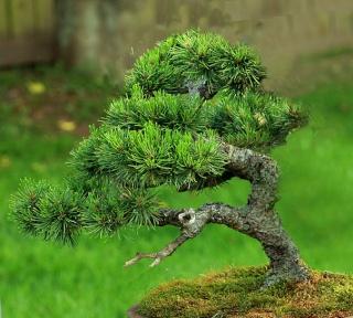 Mugo Pine Needs A New Look Victri12