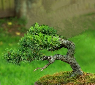 Mugo Pine Needs A New Look Victri13