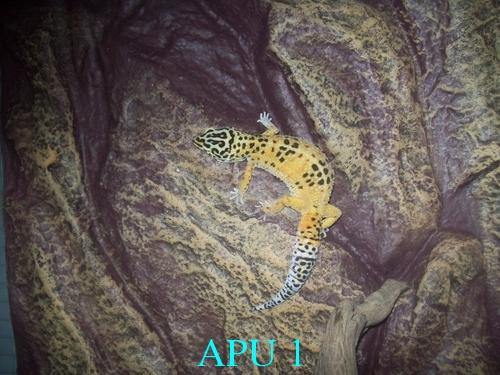 APU's Official April POTM Voting Thread (Pet) Cichli10