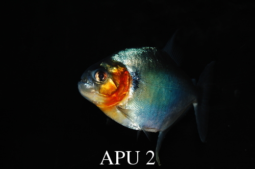 APU's Official April POTM Voting Thread (Piranha) Manny_10
