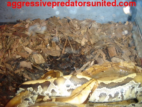 Some more pics of the Borneo Blood Python Python22