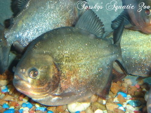 Tangled Up In Cichlids StockList Reds_t13