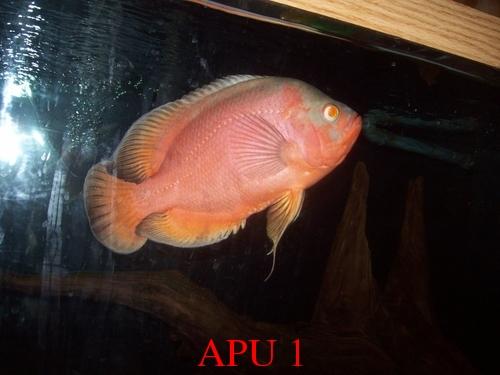 APU's Official April POTM Voting Thread (Cichlids) Shaun-10