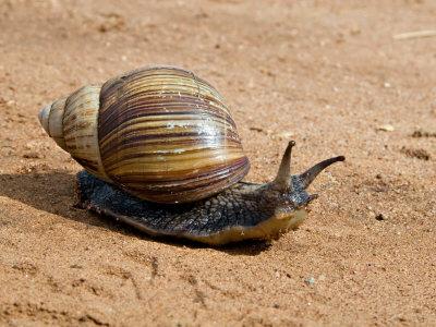 Giant African Land Snail Pics Snail_12