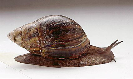 Giant African Land Snail Pics Snail_13