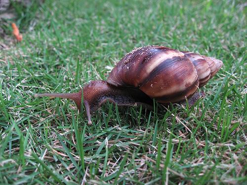 Giant African Land Snail Pics Snail_14