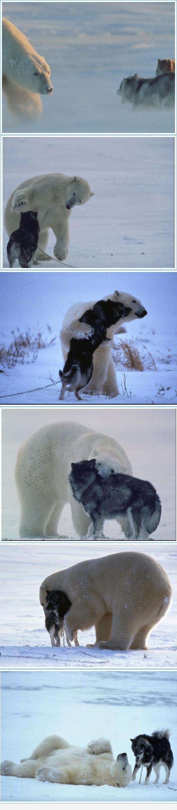 ours avec un husky Ours_h11