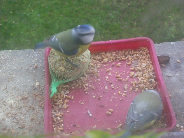 Les oiseaux de nos jardins 00747
