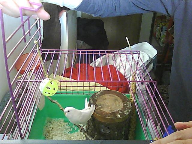 Ma deuxieme perruche ... Ange !!! Pictur40