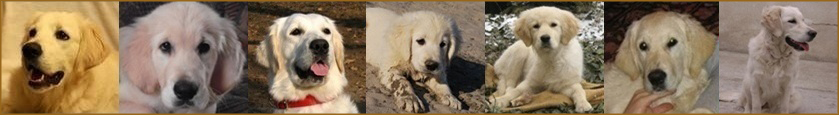 Forum dedicated to Golden Retrievers
