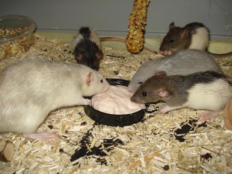 [Bruxelles] 7 rats a adopter. La_tro10