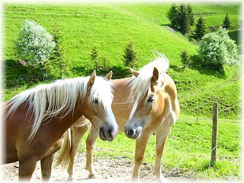 Commencer une partie sur Horse Life Haflin10