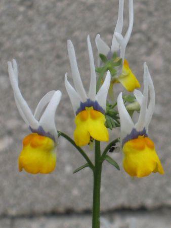 Fleur mystere?????????????Nemesia cheiranthus 'Shooting Stars' Img_0410