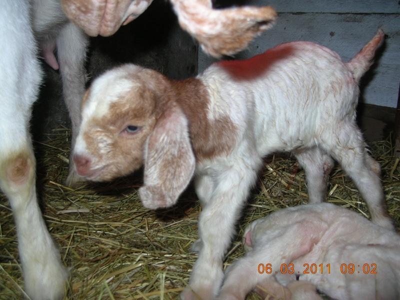 Est-ce qu'on va réchapper le bébé chèvre? 00711