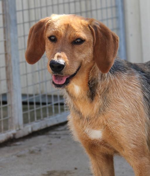 DÉZI, croisée beagle femelle, 2 an (72) Refug208