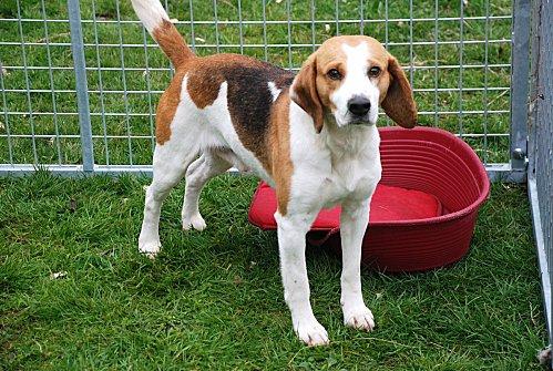 VOLVIC, croisé beagle mâle, 6 ans (72) Volvic10