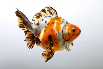 How to breed fantail goldfish Art_go10