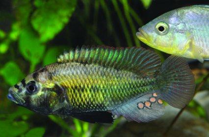 New Haplochromis cichlid from Egypt Happpp10