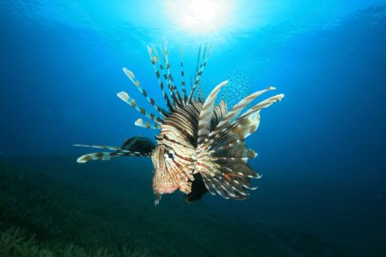 Extent and speed of lionfish invasion is 'unprecedented'  Lionfi11