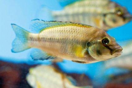Orthochromis polyacanthus Oooooo10