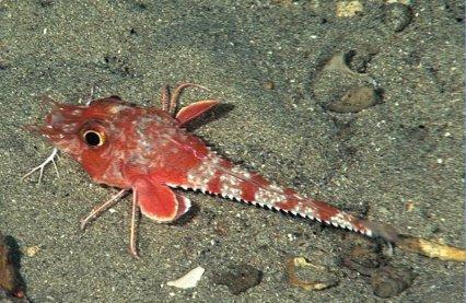 New species of searobin Searob10